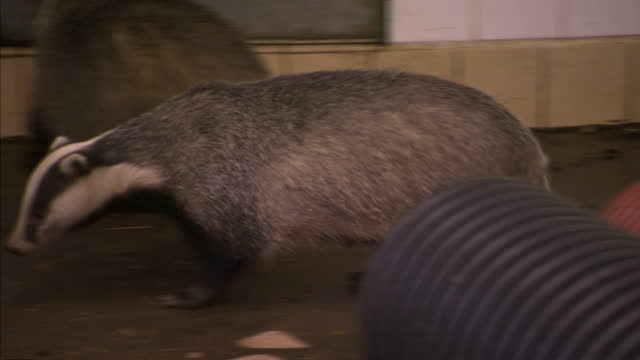 Sky News has uncovered evidence that farmers have been gassing dozens of badgers to death illegally in a bid to control the spread of bovine...