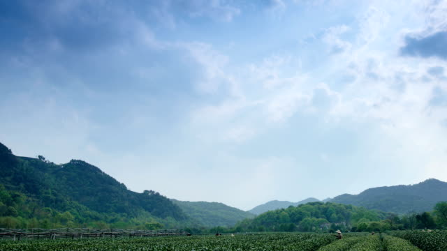 sky, tea trees and farmers in tea farm, time lapse.