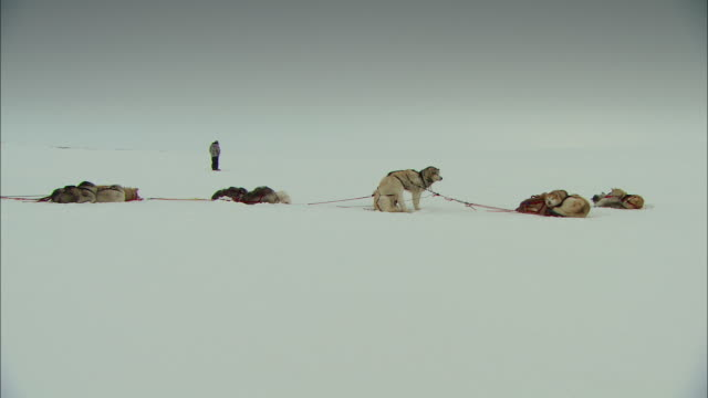 A sled dog team rests in the Alaskan tundra.