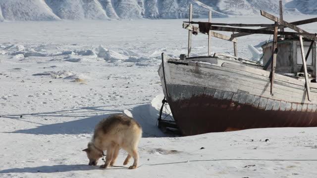 Sled dog with abandoned fishing boat on ice.