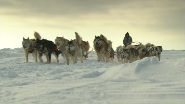 Sled dogs work together to pull three sleds.