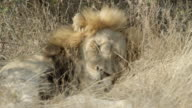 Sleeping lion wakes up and rolls onto its back.