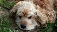 Sleeping on the grass dog opening eyes