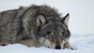 Dormire lupo