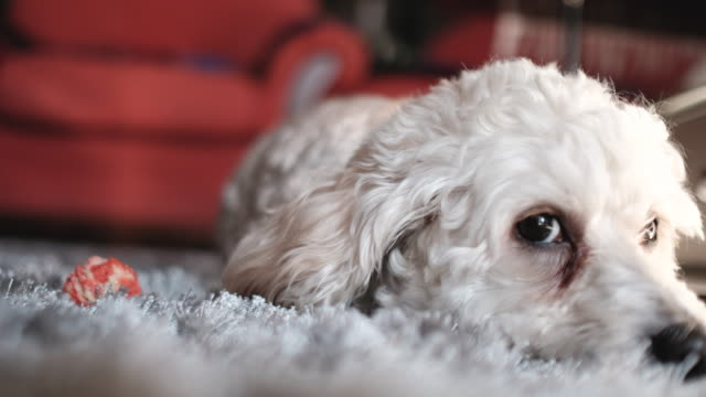 Sleepy dog on cozy carpet