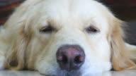 Sleepy Golden Retriever Dog