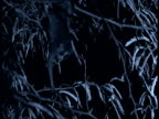Slender loris clambers in canopy at night, India