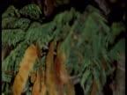 Slender loris clambers up tree branch at night, India