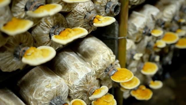 slide view panning : mature Lingzhi mushrooms