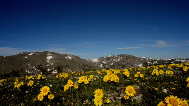 Sliding shot of Alpine Sunflowers with alpine peaks in the background with beautiful blue sky