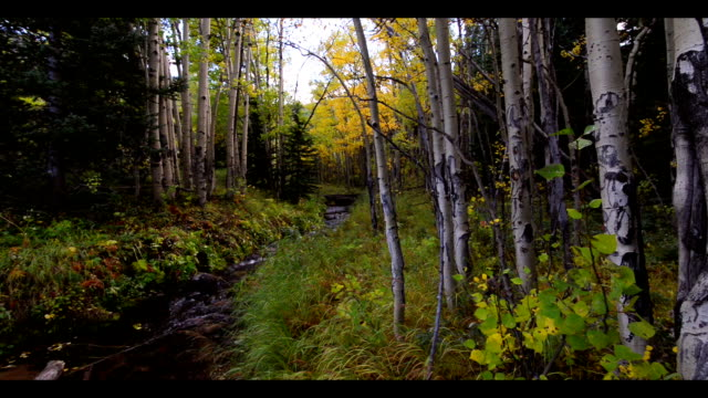 Sliding shot of an Alpine stream in Fall, flanked by Aspen Trees with golden leaves