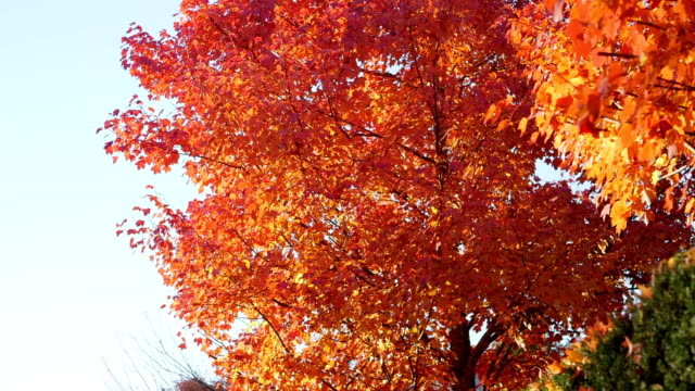 Sliding wide shot of tree of red leaves falling