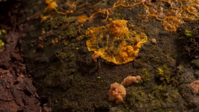 Slime mold pulsates as it spreads. Available in HD.