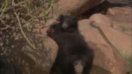 A sloth bear cub rides on its mother's back over rocks in Pench, India.