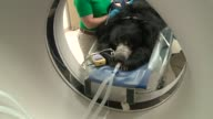 WGN Sloth Bear Under Anesthesia on CT Scanner Bed at Brookfield Zoo in Chicago on June 30 2016