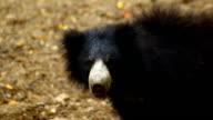Orso labiato