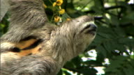 A sloth looks around while hanging from a tree.