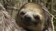 CU Sloth's face as it looks around while holding onto tree, Manaus, Amazonas, Brazil