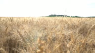 slow crane move in wheat field 4k