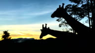 Slow motion at 240fps of giraffe eating, silhouette