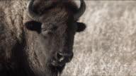 Slow Motion Bison Eating