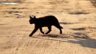 Slow motion: Black cat walking on sand at sunset