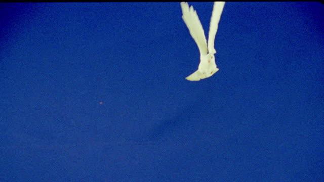 slow motion CHROMA KEY white dove flying towards camera / blue background