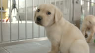 Slow motion close shot on a Labrador puppy at the National Guide Dogs for the Blind training centre.