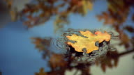 Slow motion close up Autumn leaf falling onto still water with reflections of tree branches