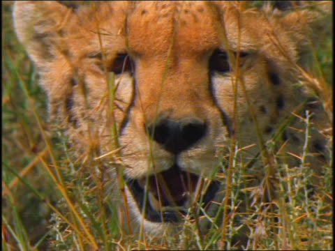 slow motion close up cheetah with mouth open looking at camera thru grass / licks nose