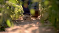 Slow motion close up farmer's boots walking towards camera in cornfield / Shell Rock, Iowa