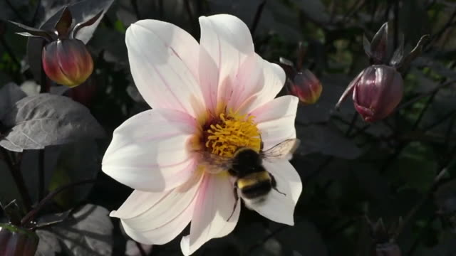 Slow Motion Close Up of Bumble Bee and Flower