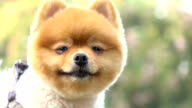 slow motion, close-up face pomeranian dog