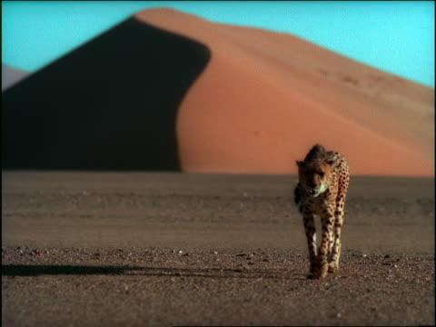slow motion dolly shot cheetah walking in desert / Namibia, Africa