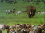 slow motion elephant standing in grass surrounded by herds of wildebeests + zebras / Africa