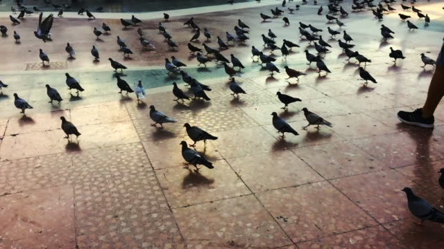 Slow motion footage recorded with smartphone of the pigeons in the center of Barcelona city, a touristic place where birds are used to the people.