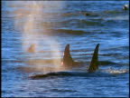 slow motion group of killer whales' dorsal fins moving in blue water / one spouts
