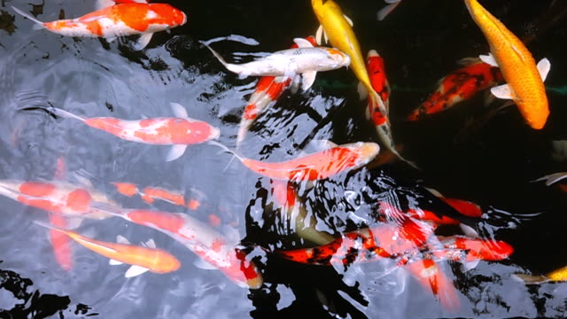 Slow Motion HD: Koi fish in pond