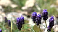 Slow Motion HD Video Of Bumblebee On Lavender Flower