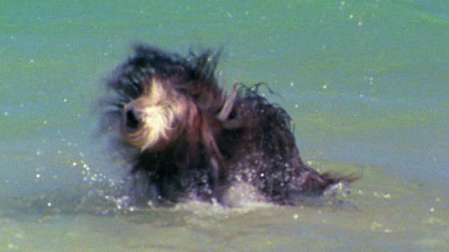 slow motion large shaggy dog (bearded collie) standing in water shaking water out of fur / Hawaii