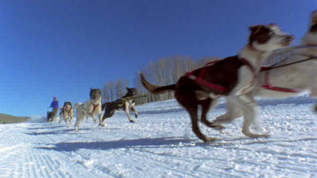 Slow motion low angle tracking shot team of dogs pulling man on sled through snow w/trees and sun shining in background / Colorado