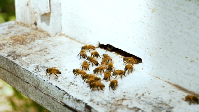 Slow Motion : Many Bees Near An Entrance To The Hive