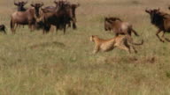 Slow motion medium shot cheetah chasing wildebeest / wildebeest chasing cheetah away from herd / Africa