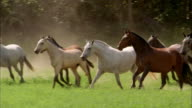 Slow motion medium shot tracking shot pack of horses running in field