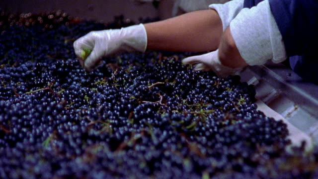 Slow motion medium shot workers removing leaves from harvested grapes on conveyor belt at Robert Mondavi Winery/ Napa Valley, California