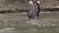 Slow motion medium shot zebra wading past crocodile / crocodile attacking zebra / zebra running away / Africa