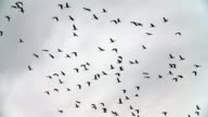 Slow motion of migrating crane birds and small birds