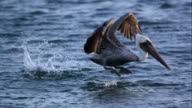Slow motion of Pelican taking to flight after floating in the ocean.