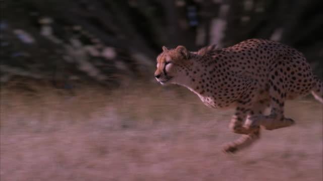 Slow motion pan of a cheetah running through the veld