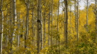 Slow motion panning medium shot of autumn leaves on trees in woods / American Fork, Utah, United States